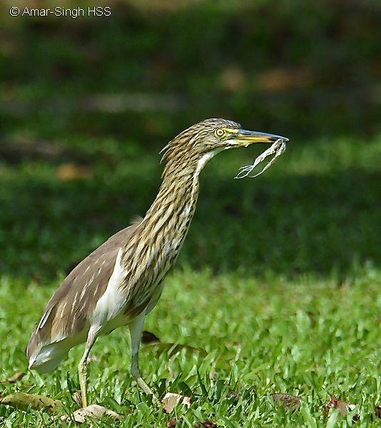 Chinese Pond-heron – odd behaviour