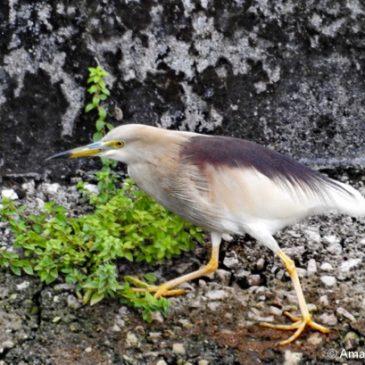 Indian Pond-heron in breeding plumage