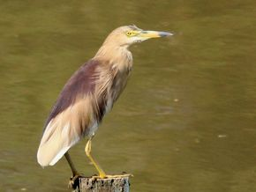 Indian Pond-heron Spotted in Singapore