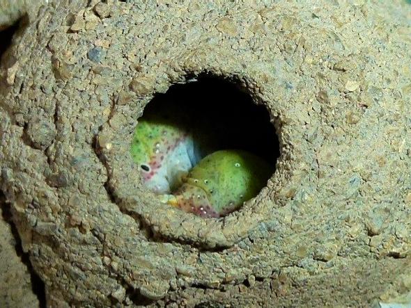 PotterWasp-egg laying [LenaChow] 2