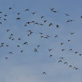 Flocks of Oriental Pratincole