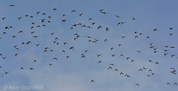 Flocks of Oriental Pratincole