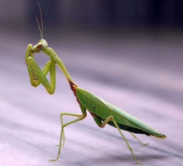 Praying Mantis (Photo credit: Wikipedia Commons