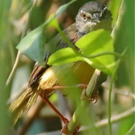 Call of the adult Yellow-bellied Prinia
