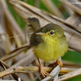 Yellow-bellied Prinia – juveniles