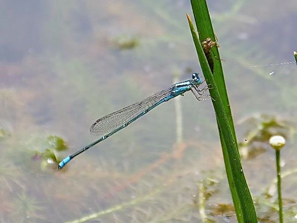 Damselfly larvae devour a fish and a mosquito