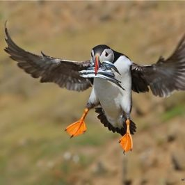 Atlantic Puffins catching sandeels for their chicks