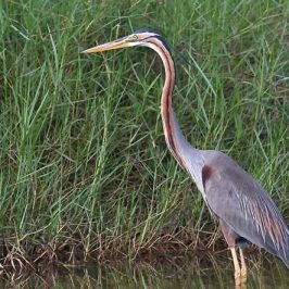 Purple Heron's Eel Catch