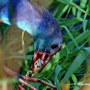 Purple Swamphen – Feeding behaviour, shoots