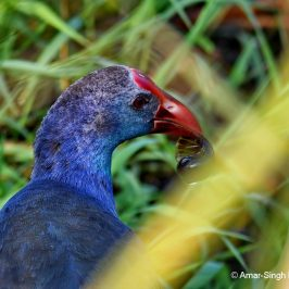 Purple Swamphen – Feeding behaviour, Snails