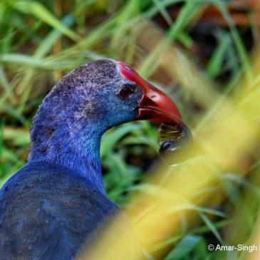Purple Swamphen – Feeding behaviour, Snails