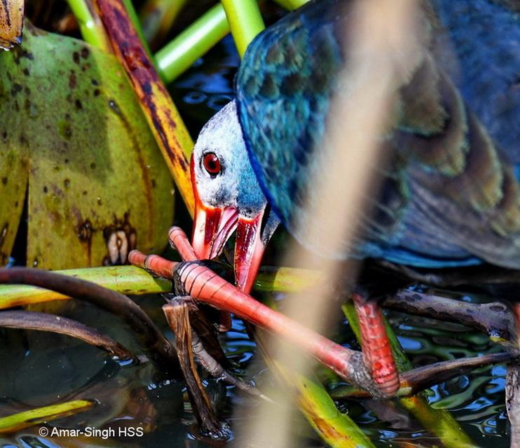 Purple Swamphen-snail-4a-Tambun, Ipoh, Perak, Malaysia-18th October 2017