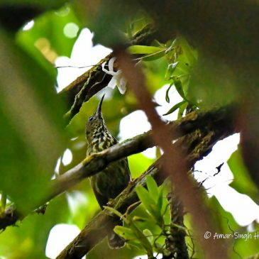 New food source for Purple-naped Spiderhunter/Sunbird