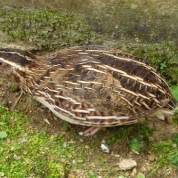 Encounter with a Japanese Quail