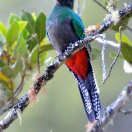 Resplendent Quetzal (<em>Pharomachrus mocinno</em>)
