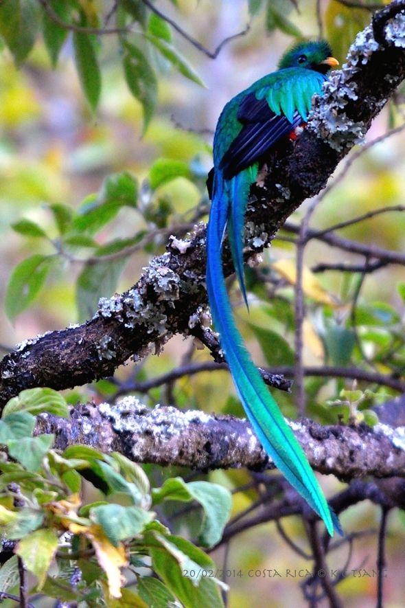 Resplendent Quetzal Blue
