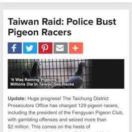 Racing Homer Pigeon II