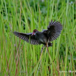 Slaty-breasted Rail in flight