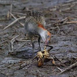 Slaty-breasted Rail feeding on a crab