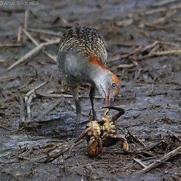 Slaty-breasted Rail feeding on a crab