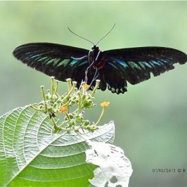 Rajah Brooke's Birdwing approaching its nectaring plant