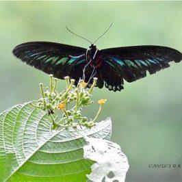 Rajah Brooke's Birdwing approaching its nectaring plant