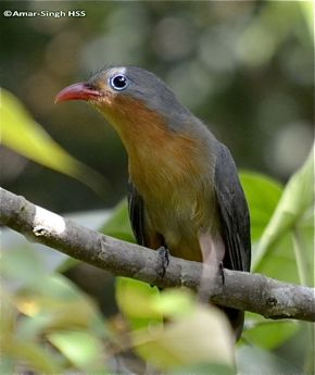 An adult Red-Billed Malkoha