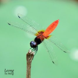 DRAGONFLIES – RECOGNISING THE REDS