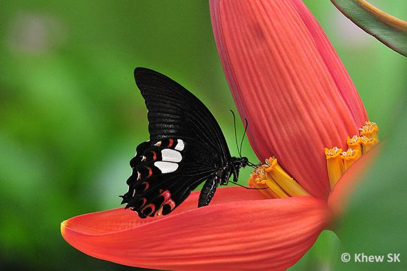 Butterflies attracted to banana plants