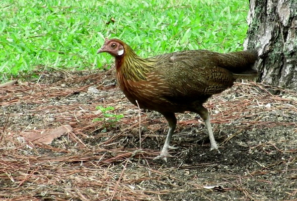 RED JUNGLEFOWL FORAGING
