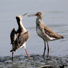 Common Greenshanks' aggressive behaviour
