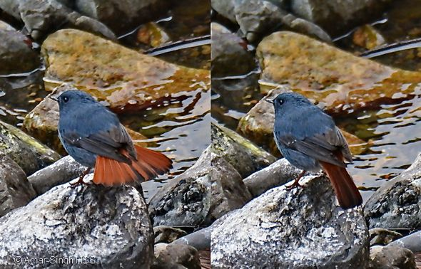 Birding in Taiwan: 14. Plumbeous Water Redstart