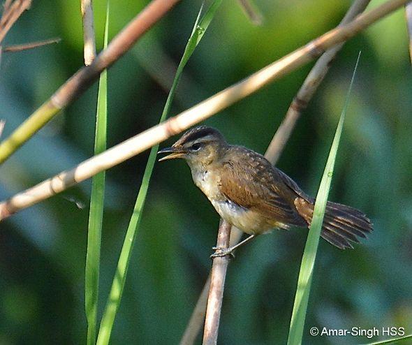 Migrating Black-browed Reed-warbler in Perak, Malaysia