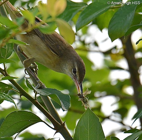 Oriental Reed-warbler and its prey
