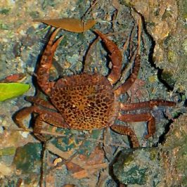 Reticulated or Singapore Swamp Crab