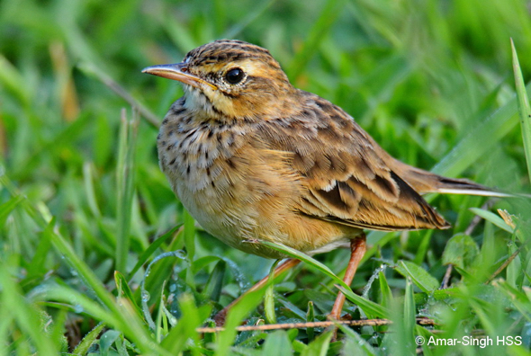 Pipit for ID – Anthus richardi vs Anthus rufulus