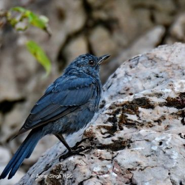 Blue Rock-thrush  – frugivory