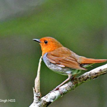 Japanese Robin – Hokkaidō