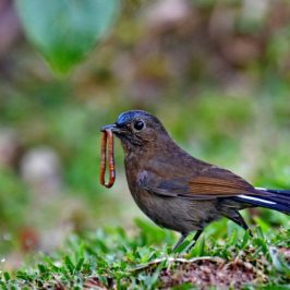 White-tailed Robin: 1. Immature male with prey