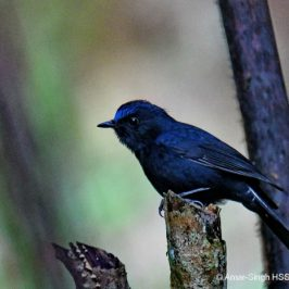 White-tailed Robin: 2. More images and vocalisation