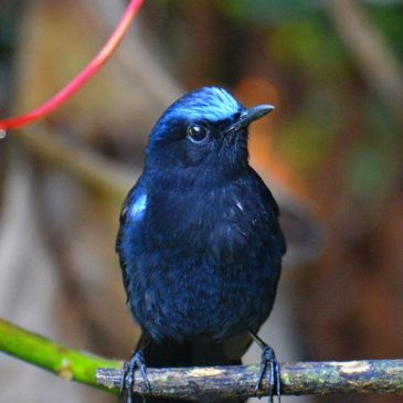 White-tailed Robin – an enigma