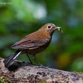 White-tailed Robin – nesting