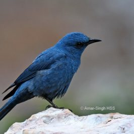 Blue Rock-thrush – calls