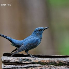 Blue Rock-thrush – adult and subadult
