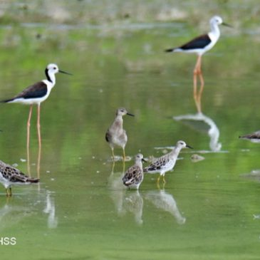 Ruff – males and females