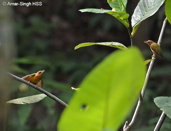 Rufous Piculet – Courtship behaviour 1