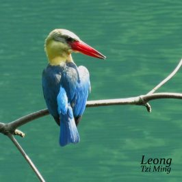 PREENING SESSION OF STORK-BILLED KINGFISHER