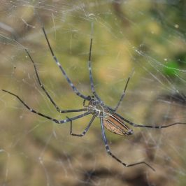 SAVE MACRITCHIE FOREST: 8. SANCTUARY FOR SPIDERS
