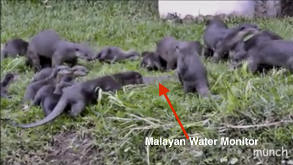 Smooth Otters attacked Malayan Water Monitor