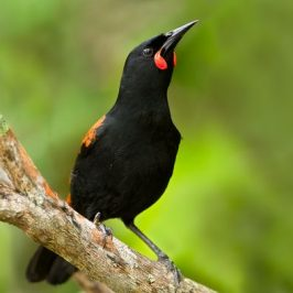The Saddlebird of New Zealand